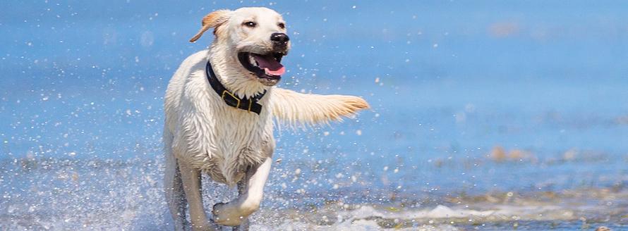 Yellow Labrador at the beach
